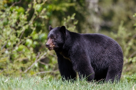 Black bear hunting in Minnesota.